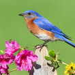 Eastern Bluebird — Stock Photo #7916437
