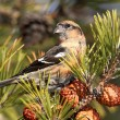 Stock Photo: White-winged Crossbill (Loxileucoptera)