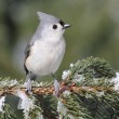 Titmouse On A Snow-covered Branch — Stock Photo #7918332