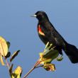 Stock Photo: Male Red-winged Blackbird
