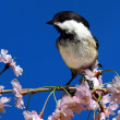 Постер, плакат: Chickadee With Cherry Blossoms