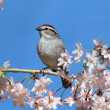 Chipping Sparrow With Cherry Blossoms — Stock Photo