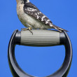 Downy Woodpecker On A Handle — Stock Photo