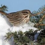 Sparrow In Snow — Stock Photo #7918806