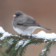 Junco On A Snow-covered Branch — Stock Photo #7918964
