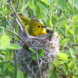 Yellow Warbler In A Nest — Stock Photo #7919271