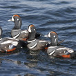 Harlequin Ducks — Stock Photo