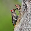 Woodpeckers building a nest — Stock Photo #7919515