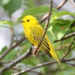 Stock Photo: Yellow Warbler (Dendroicpetechia)