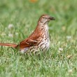 Royalty-Free Stock Photo: Brown Thrasher (Toxostoma rufum)