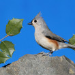 Stock Photo: Titmouse On Rock With Holly