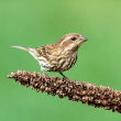 Stock Photo: Purple Finch (Carpodacus purpureus)
