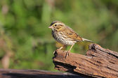 Savannah Sparrow — Stock Photo