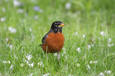 American Robin (Turdus migratorius) — Stock Photo