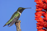 Male Ruby-throated Hummingbird (archilochus colubris) — Stock Photo