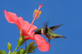Ruby-throated Hummingbird — Stock Photo