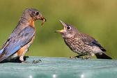 Female Eastern Bluebird Feeding A Baby — Stock Photo