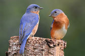 Pair of Eastern Bluebird — Stock Photo