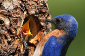 Male Eastern Bluebird Feeding A Baby — Stock Photo
