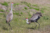 Pair Sandhill Cranes Courting — Stock Photo