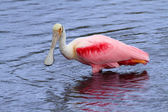 Roseate Spoonbill Hunting In Water — Stock Photo