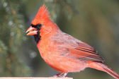 Male Cardinal On A Feeder — Stock Photo