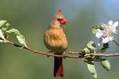 Female Northern Cardinal (cardinalis) — Stock Photo