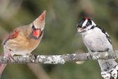 Coppia di uccelli su un ramo — Foto Stock