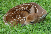 White-tailed Deer Fawn — Stock Photo