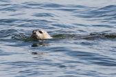 Harbor Seal In The Atlantic Ocean — Stock Photo