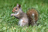 Gray Squirrel In Grass — Stock Photo