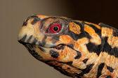 Eastern Box Turtle (Terrapene carolina) — Stock Photo