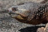 Comune tartaruga azzannatrice — Foto Stock