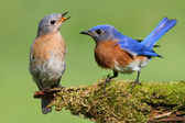 Pair of Eastern Bluebird — Stock Photo