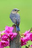 Eastern Bluebird — Stock Photo