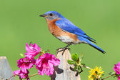Eastern Bluebird — Stock Photo