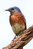Na białym tle bluebird na grzędzie — Zdjęcie stockowe