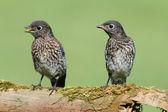 Bluebirds orientali bambino — Foto Stock