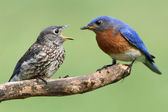 Male Eastern Bluebird With Baby — Stock Photo