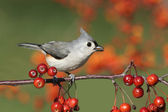 Bird On A Perch With Cherries — Stock Photo
