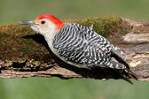 Woodpecker on a Moss covered Log — Stock Photo