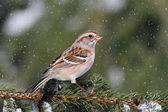 American Tree Sparrow In A Light Snowfall — Stock Photo