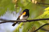 American Redstart Warbler Singing — Stock Photo