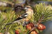 White-winged Crossbill (Loxia leucoptera) — Stock Photo