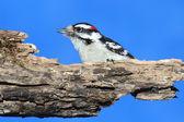 Male Downy Woodpecker (picoides pubescens) — Stock Photo