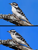 Downy Woodpeckers (picoides pubescens) — Stock Photo