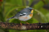 Northern Parula on a Branch — Stock Photo