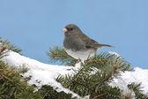Junco scuro-eyed nella neve — Foto Stock