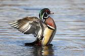 Male Wood Duck (aix sponsa) — Stock Photo