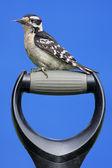 Downy Woodpecker On A Handle — Stock Photo